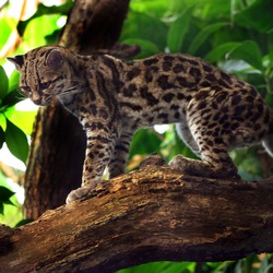 Margay Cat Photo Margaykat Leopardus wiedii
