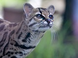 Margay Cat Photo Pantanal Leopardus wiedii