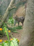 Margay Cat Photo Wild Zoo Edinburgh