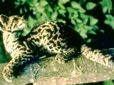 Margay Cat Photo curious Leopardus wiedii