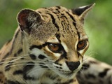 Margay Cat Photo face portrait ocelot