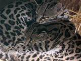 Margay Cat Photo family cuddle