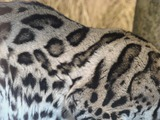 Margay Photo Gallery