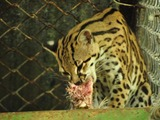 Margay Cat Photo hungry eating