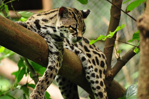 Margay Cat Photo lying tree