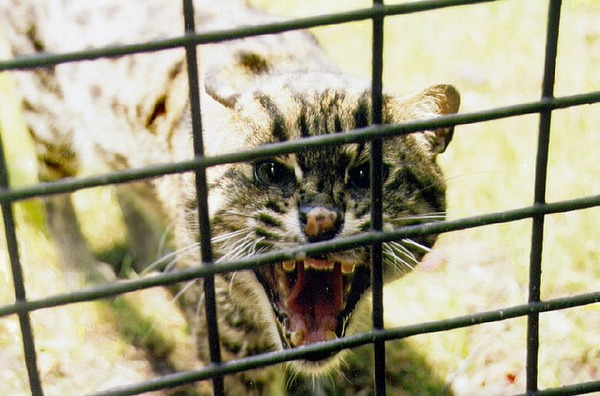 Margay Cat Photo mad cage roar