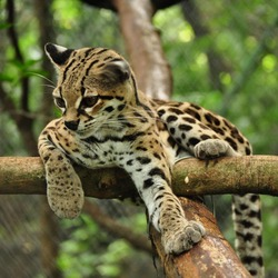 Margay Cat Photo relax tree