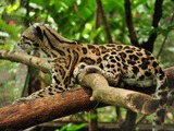 Margay Cat Photo tree climb