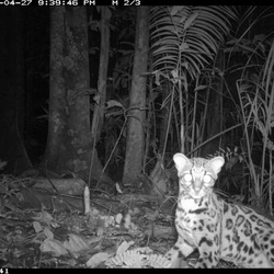 Margay Cat Photo wild nocturnal