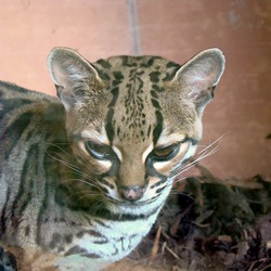 Margay Cat cub Photo  Zoo Edinburgh