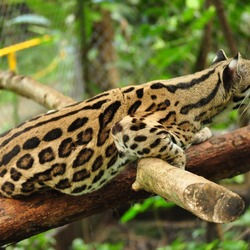 Margay Leopardus wiedii Cat Photo curious
