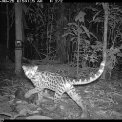 Margay Wild Cat Photo