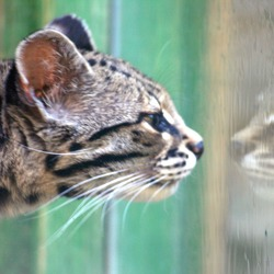 Margay reflection Cat Photo  Colchester Zoo