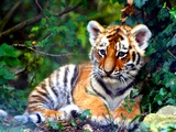 Tiger Cub pup Picture Photo Image kitten