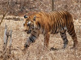 Tiger Hunt Picture Photo Image Bengal Tiger Karnataka