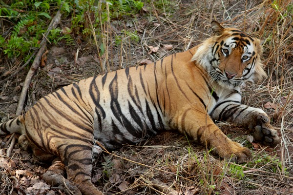 Tiger Picture Photo Image Bengal Tiger India resting