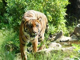 Tiger Picture Photo Image Sumatran Tijger