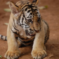 Tiger Picture Photo Image Tiger cub pup kitten