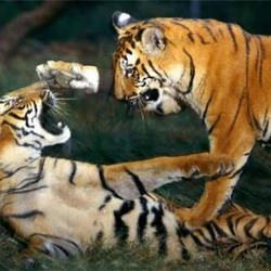 Tiger Picture Photo Image Tigers playing Pilibhit Reserve