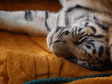 Tiger Sleeping Picture Photo Image cub tired