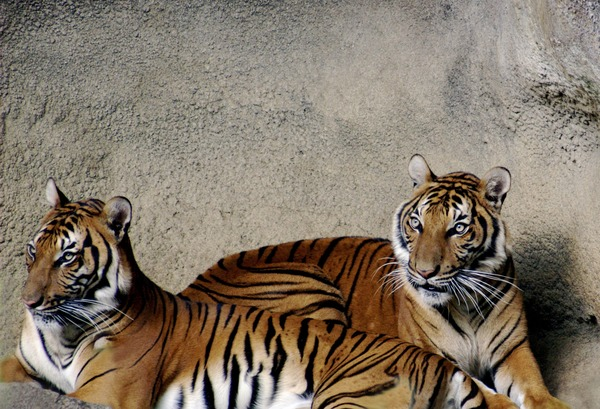 Tiger couple Picture Photo Image Tigers