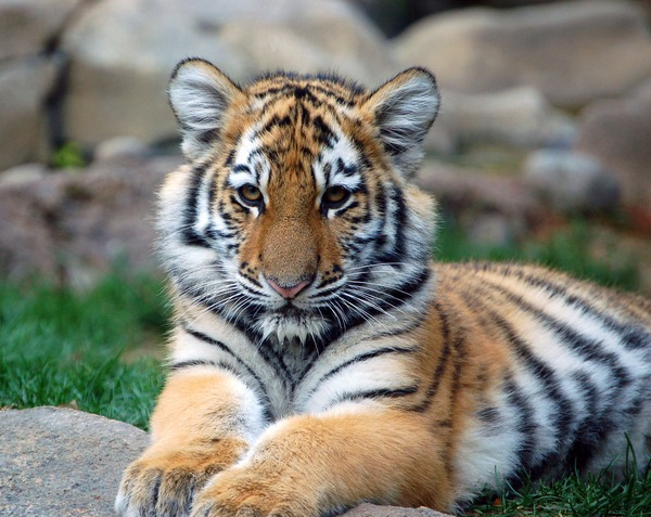 Tiger cub pup kitten Picture Photo Image Big