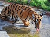 Tiger drinking Picture Photo Image Panthera tigris