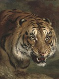 Tiger growl Picture Photo Image Bengal Tiger face