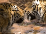 Tiger kiss Picture Photo Image Bengal tigers India