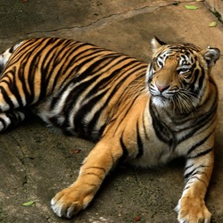 Tiger lying down Picture Photo Image Bengal Tiger
