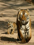 Tiger mother and cub Picture Photo Image Pilibhit Reserve
