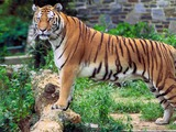 Tiger stripe Picture Photo Image Panthera tigris