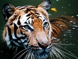 Tiger swim Picture Photo Image Tiger in water