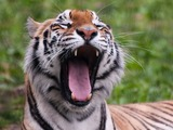 Tiger yawn Picture Photo Image Panthera tigri Franklin Park Zoo