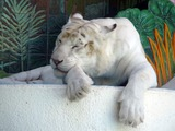 Pure White Tiger Photo Image mirage las vegas