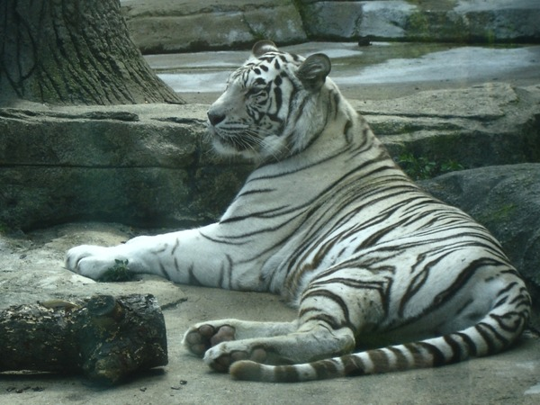 White Tiger Photo Bengal lying down