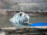 White Tiger Photo Image Playing