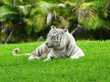 White Tiger Photo Image White tiger Miami