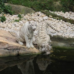White Tiger couple drinking Picture