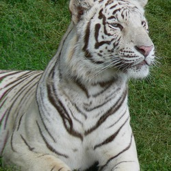 White Tiger curious Photo Image