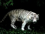 White Tiger Photo Gallery