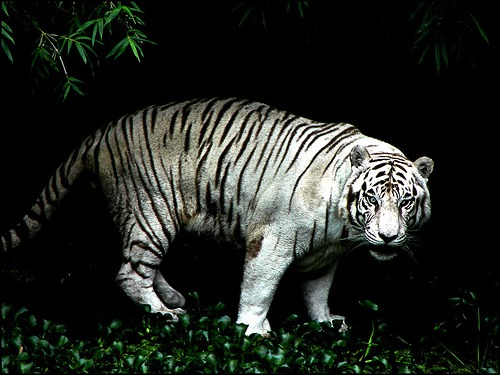 White Tiger jungle Photo Image
