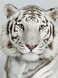 White Tiger portrait Photo Image Bengali