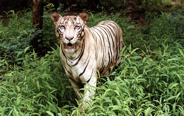 White Tiger wild Photo Image