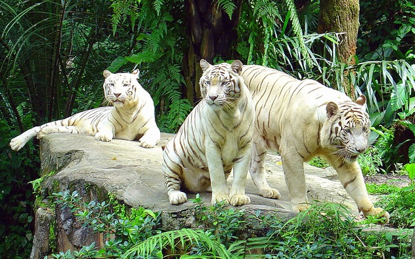White Tigers Photo Singapore Zoo